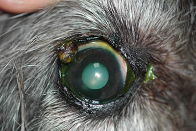 Eyelid Surgery For Your Pet | Ophthalmology For Animals