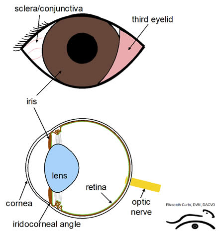uveitis diagram